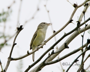 Bell's Vireo at Cottonwood Campground