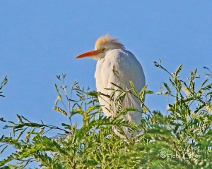 Cattle Egret in early morning sun at the ghost town of Terlingua.