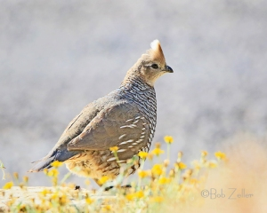 Scaaled Quail - also locally know as a blue quail.