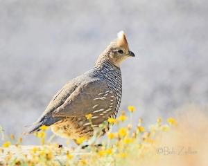 Scaaled Quail - also locally know as a blue quail.