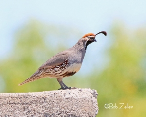 Gambel's Quail.  Found along Highway 170 in Big Bend Ranch State Park near Redford, Texas.