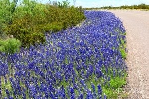 Texas Bluebonnets along the highway into Big Bend National Park.