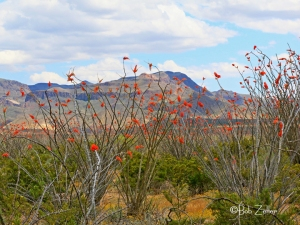Ocotillo - a sea of red.