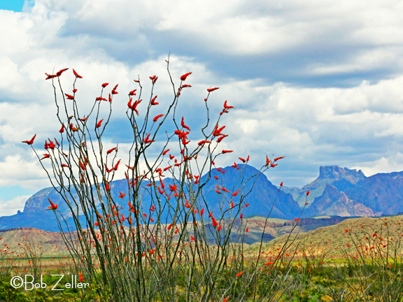 IMG_0971-net-ocotillo and chisos-bob-zeller
