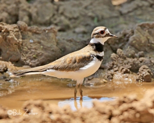 Killdeer - adult