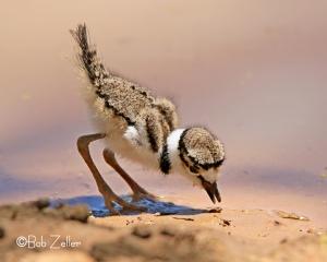 Killdeer - chick