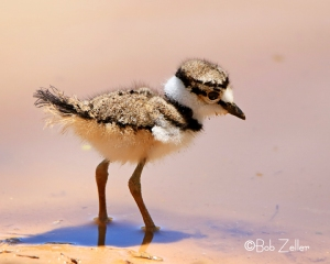 Killdeer -chick