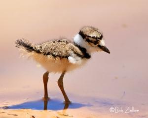 Killdeer -chick