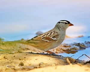 White-crowned Sparrow ponders taking a drink.