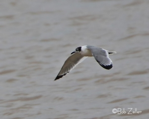 Franklin's Gull - heavily cropped image
