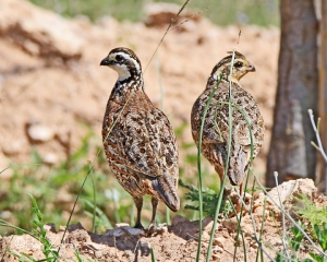 Male and female Northern Bobwhite