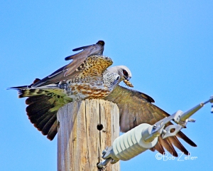 Mississippi Kites - dinner time