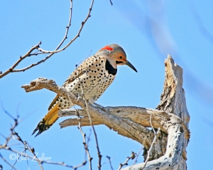 Northern Flicker - (Yellow-shafted)