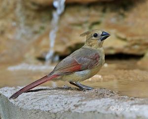 Northern Cardinal - juvenile