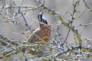 Northern Bobwhite sing to his mate.