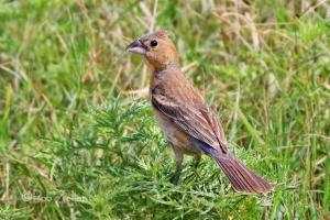 Blue Grosbeak - female