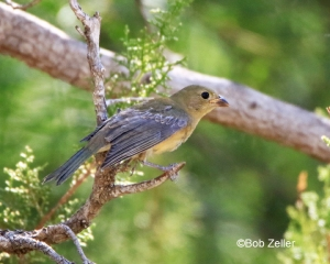 juvenile male Painted Bunting