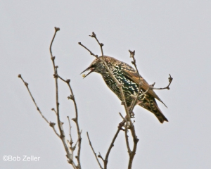 European Starling - winter adult
