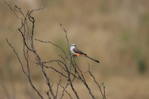 original Scissor-tailed Flycatcher