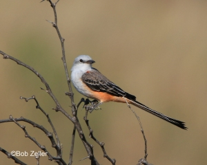 cropped Scissor-tailed Flycatcher