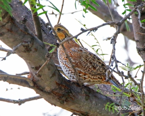 Northern Bobwhite - female