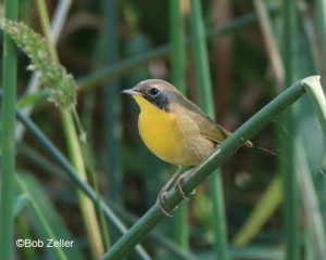 Common Yellow-throat - juvenile