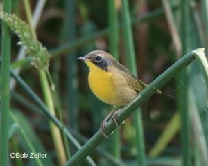 Common Yellow-throat - juvenile