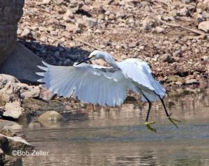 Snowy Egret making a landing.
