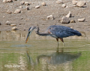 Great Blue Heron catching a small snack.
