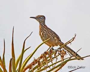 Greater Roadrunner in a yucca plant.