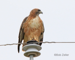 Red-tailed Hawk atop a utility pole.
