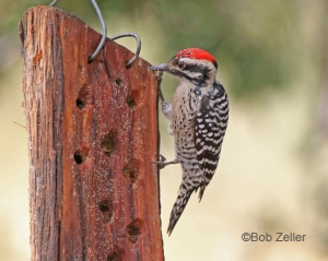 Ladder-backed Woodpecker at Davis Mountains State Park