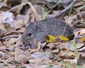 Mouse or rodent