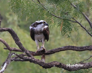 Osprey with fish lunch