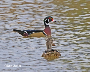 Wood Duck and female Mallard