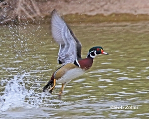 Wood Duck lifting off.