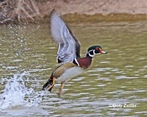 Wood Duck lifting off.