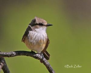 Vermilion Flycatcher - immature male