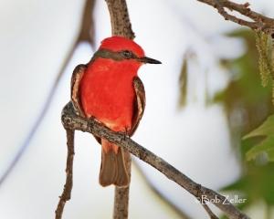Vermilion Flycatcher - adult male