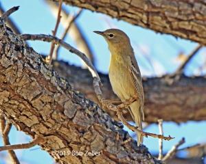 Yellow-rumped Warbler - Myrtle variety