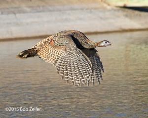Wild Turkey - hen in flight