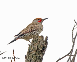 Northern Flicker - red-shafted variety.