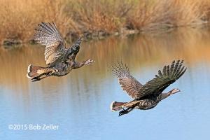 Wild Turkeys in flight