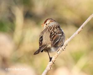 White-crown Sparrow - juvenile