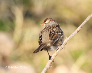 White-crown Sparrow - juvenile