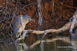 Black-crowned Night Heron - juvenile