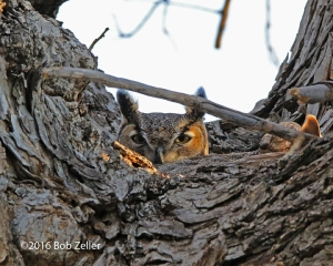 Great Horned Owl - female on nest.