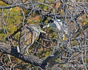 Black-crowned Night Herons. A Juvenile and an adult.