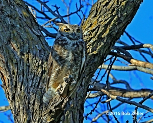 Great Horned Owl - male