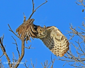 female Great Horned Owl heading to the nest.